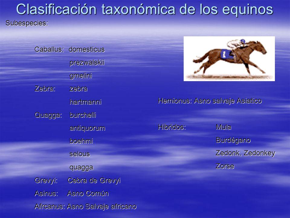 Clasificación taxonómica de los equinos Subespecies: Caballus: domesticus prezwalskii prezwalskii gmelini gmelini Zebra: zebra hartmanni hartmanni Qua