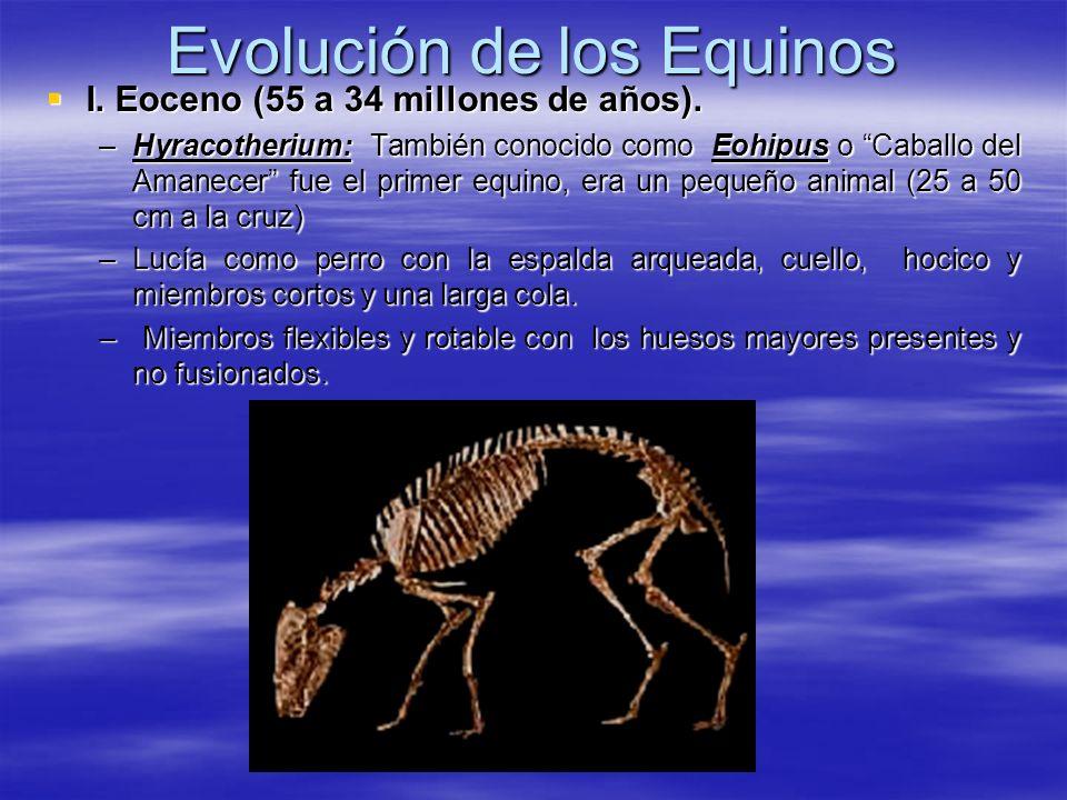 Evolución de los Equinos I. Eoceno (55 a 34 millones de años). I. Eoceno (55 a 34 millones de años). –Hyracotherium: También conocido como Eohipus o C