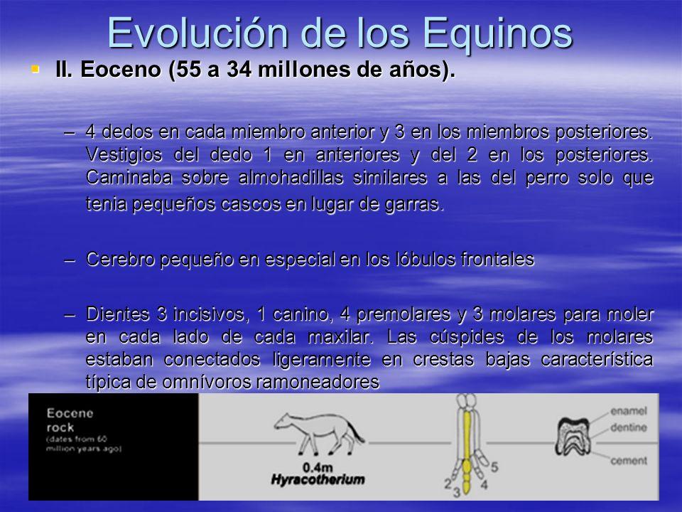 Evolución de los Equinos II. Eoceno (55 a 34 millones de años). II. Eoceno (55 a 34 millones de años). –4 dedos en cada miembro anterior y 3 en los mi