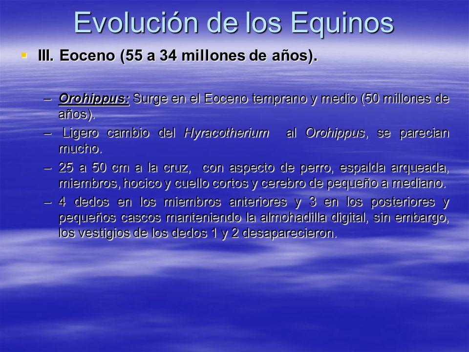 Evolución de los Equinos III. Eoceno (55 a 34 millones de años). III. Eoceno (55 a 34 millones de años). –Orohippus: Surge en el Eoceno temprano y med