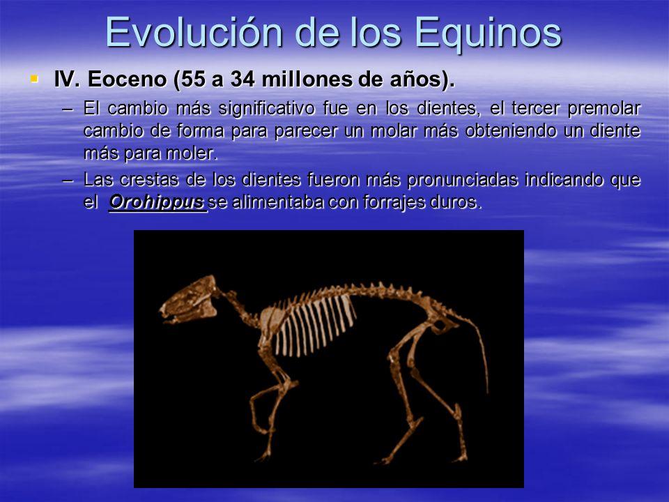 Evolución de los Equinos IV. Eoceno (55 a 34 millones de años). IV. Eoceno (55 a 34 millones de años). –El cambio más significativo fue en los dientes