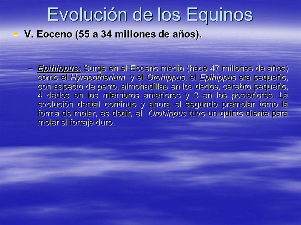 Evolución de los Equinos V. Eoceno (55 a 34 millones de años). V. Eoceno (55 a 34 millones de años). –Epihippus: Surge en el Eoceno medio (hace 47 mil