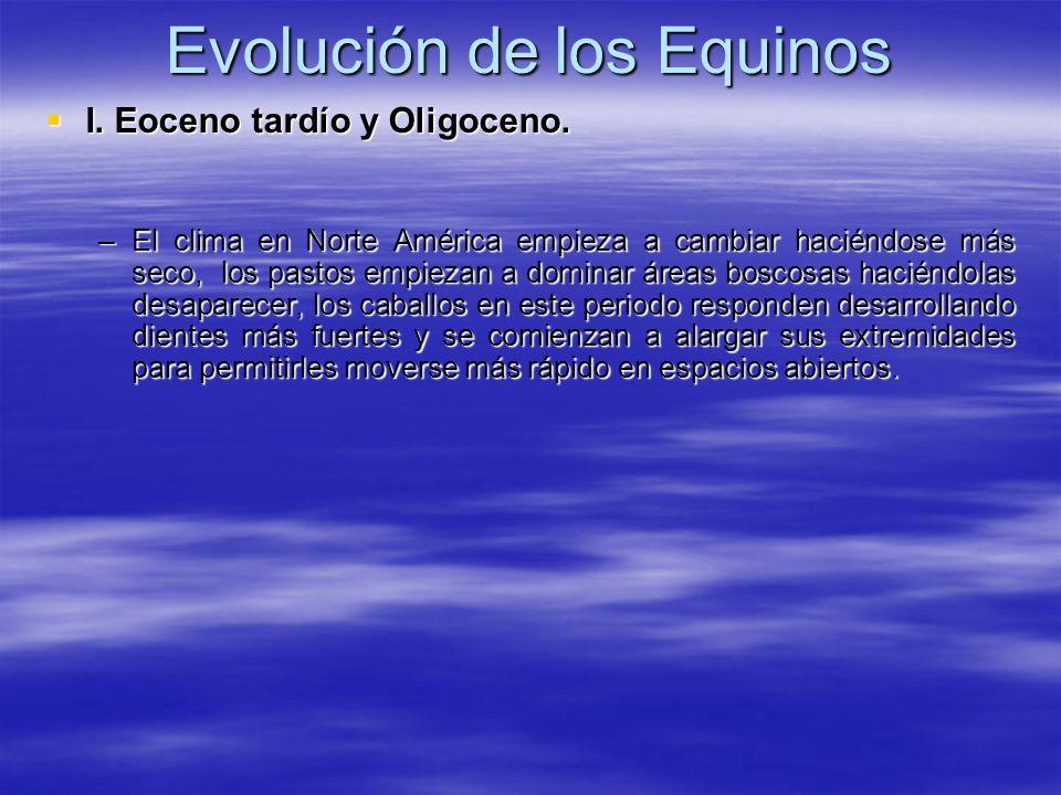 Evolución de los Equinos I. Eoceno tardío y Oligoceno. I. Eoceno tardío y Oligoceno. –El clima en Norte América empieza a cambiar haciéndose más seco,