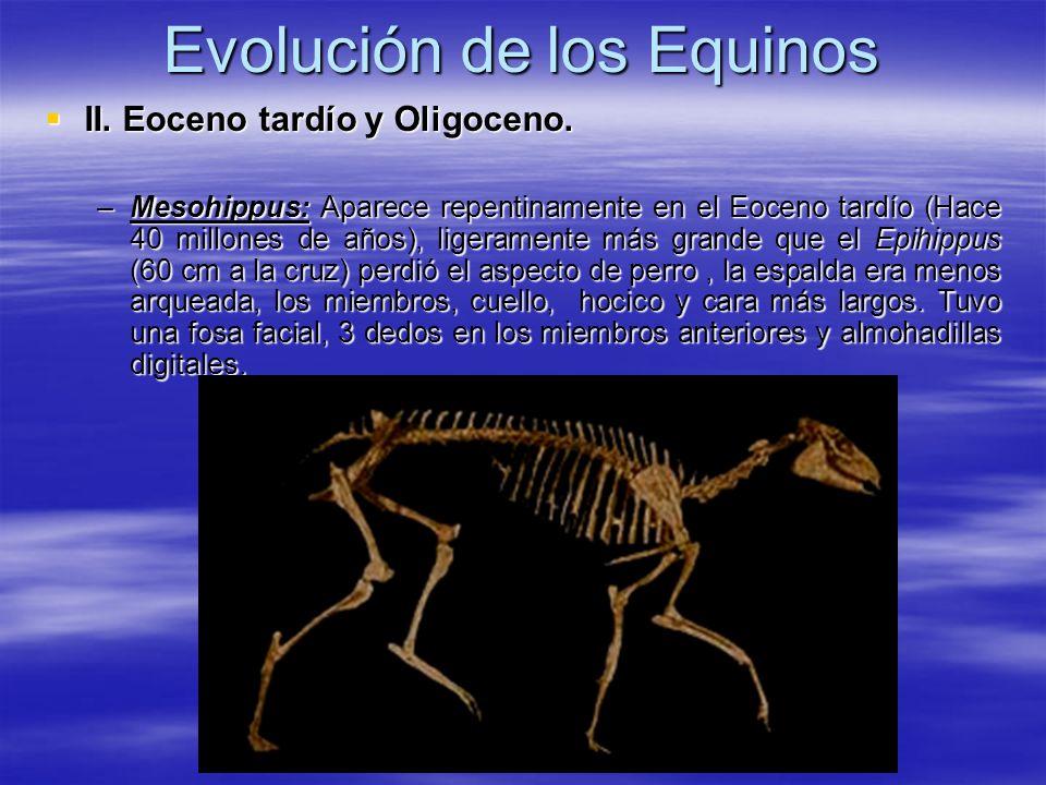 Evolución de los Equinos II. Eoceno tardío y Oligoceno. II. Eoceno tardío y Oligoceno. –Mesohippus: Aparece repentinamente en el Eoceno tardío (Hace 4