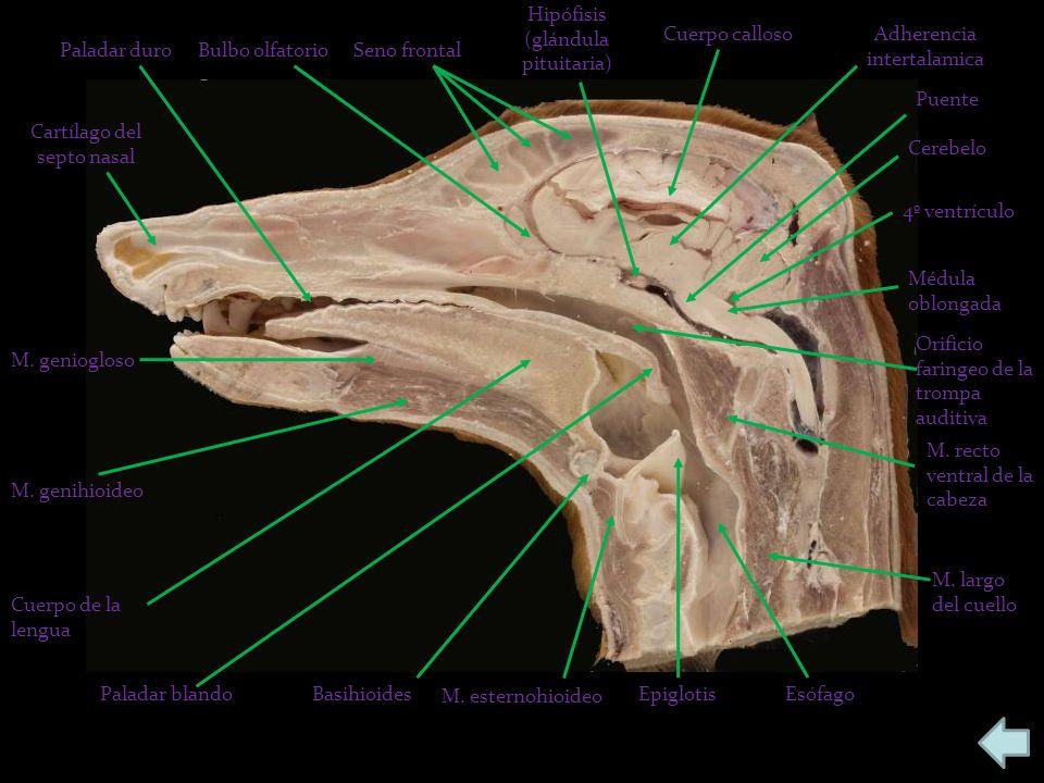 Seno frontalBulbo olfatorioPaladar duro Cartílago del septo nasal M.