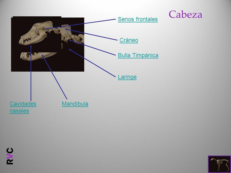 Cabeza Bulla Timpánica MandíbulaCavidades nasales Laringe Cráneo Senos frontales