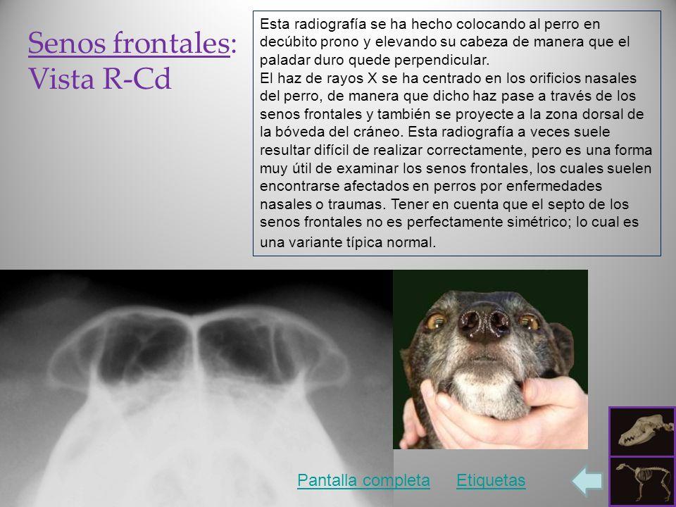 Senos frontales: Vista R-Cd Pantalla completaEtiquetas Esta radiografía se ha hecho colocando al perro en decúbito prono y elevando su cabeza de manera que el paladar duro quede perpendicular.