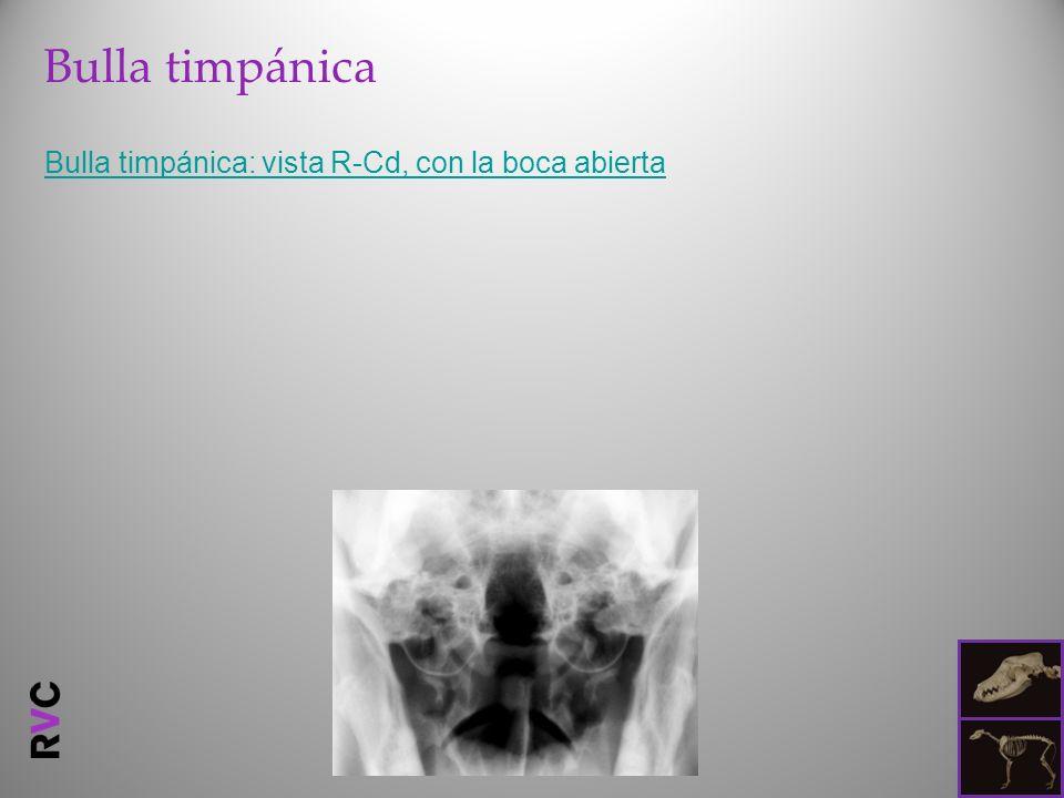 Bulla timpánica Bulla timpánica: vista R-Cd, con la boca abierta
