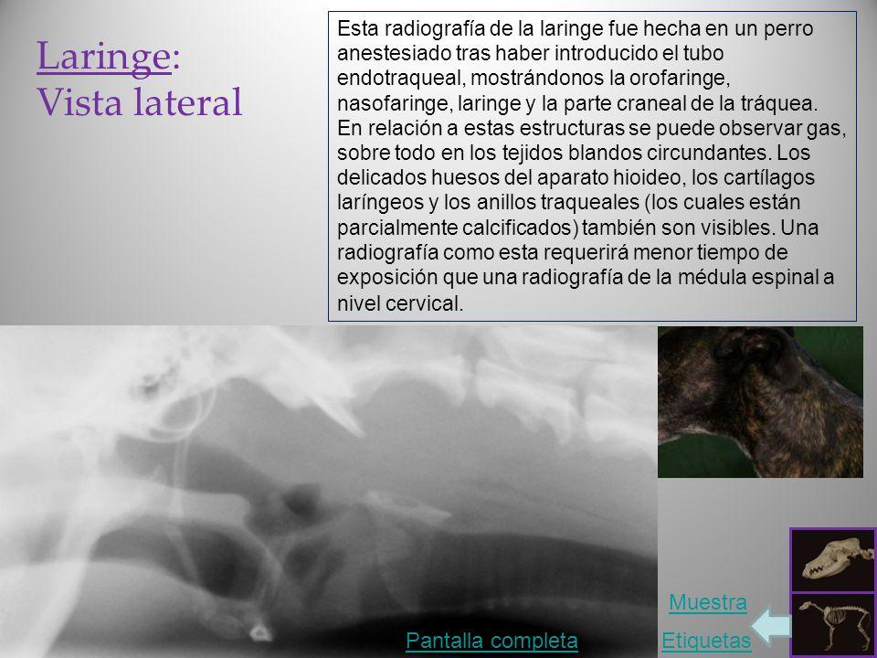 Laringe: Vista lateral Pantalla completaEtiquetas Muestra Esta radiografía de la laringe fue hecha en un perro anestesiado tras haber introducido el tubo endotraqueal, mostrándonos la orofaringe, nasofaringe, laringe y la parte craneal de la tráquea.