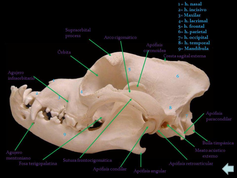 1 2 3 4 5 6 7 8 9 1 = h. nasal 2= h. incisivo 3= Maxilar 4= h. lacrimal 5= h. frontal 6= h. parietal 7= h. occipital 8= h. temporal 9= Mandíbula Aguje