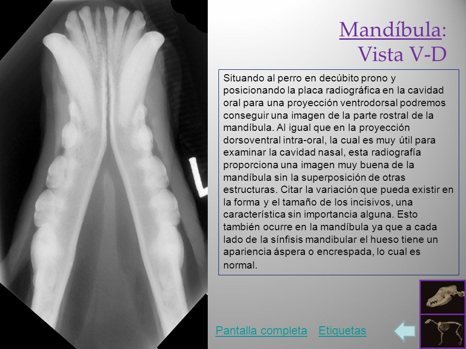 Mandíbula: Vista V-D Pantalla completaEtiquetas Situando al perro en decúbito prono y posicionando la placa radiográfica en la cavidad oral para una proyección ventrodorsal podremos conseguir una imagen de la parte rostral de la mandíbula.