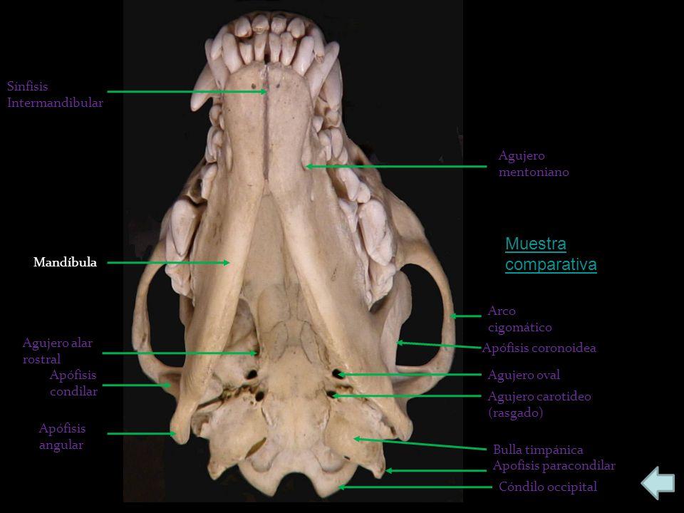 Apófisis angular Apófisis condilar Agujero alar rostral Mandíbula Sínfisis Intermandibular Cóndilo occipital Apofisis paracondilar Bulla timpánica Agu