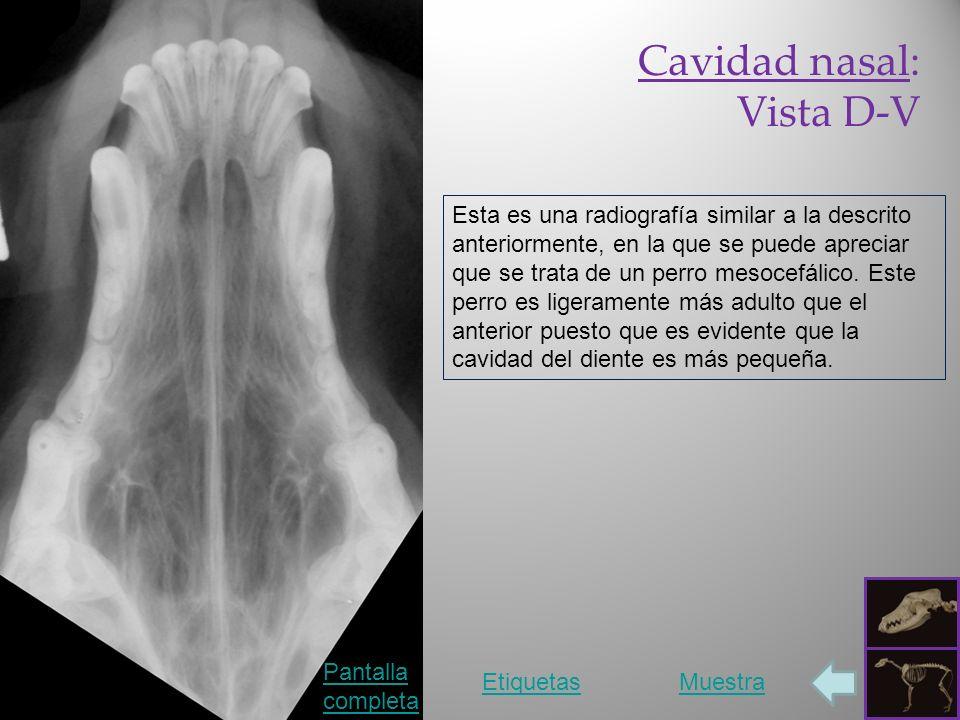Cavidad nasal: Vista D-V Pantalla completa EtiquetasMuestra Esta es una radiografía similar a la descrito anteriormente, en la que se puede apreciar que se trata de un perro mesocefálico.