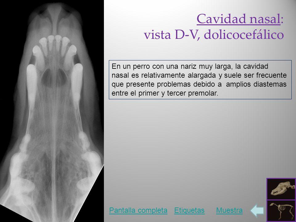 Cavidad nasal: vista D-V, dolicocefálico Pantalla completaEtiquetasMuestra En un perro con una nariz muy larga, la cavidad nasal es relativamente alar