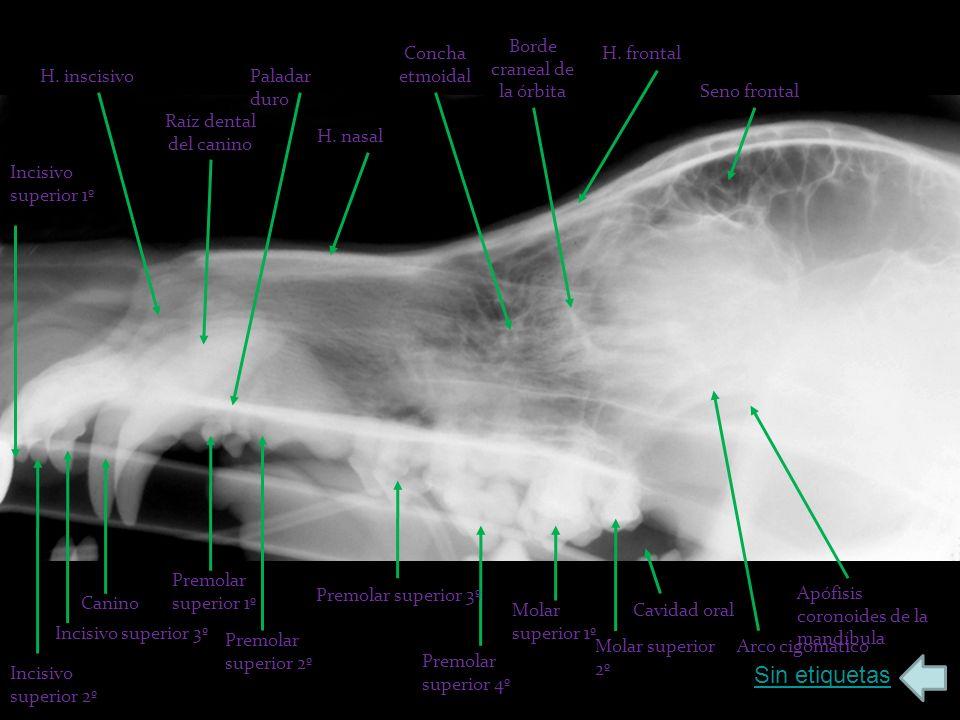 Sin etiquetas H. inscisivo Raíz dental del canino Paladar duro H. nasal Concha etmoidal Borde craneal de la órbita H. frontal Seno frontal Cavidad ora