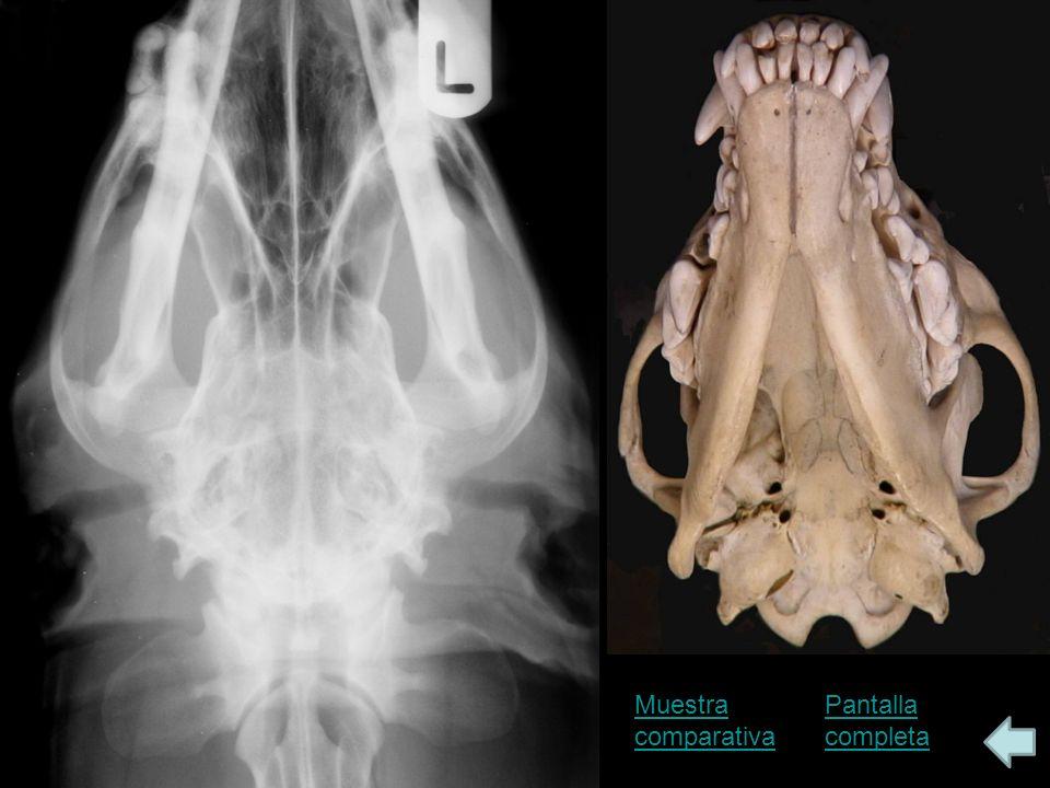 Bulla timpánica: Vista R-Cd, con la boca abierta Pantalla completaEtiquetas Esta otra radiografía ha sido hecha con el perro en decúbito prono.