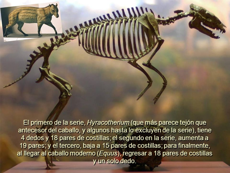 El primero de la serie, Hyracotherium (que más parece tejón que antecesor del caballo, y algunos hasta lo excluyen de la serie), tiene 4 dedos y 18 pares de costillas; el segundo en la serie, aumenta a 19 pares; y el tercero, baja a 15 pares de costillas; para finalmente, al llegar al caballo moderno (Equus), regresar a 18 pares de costillas y un solo dedo.
