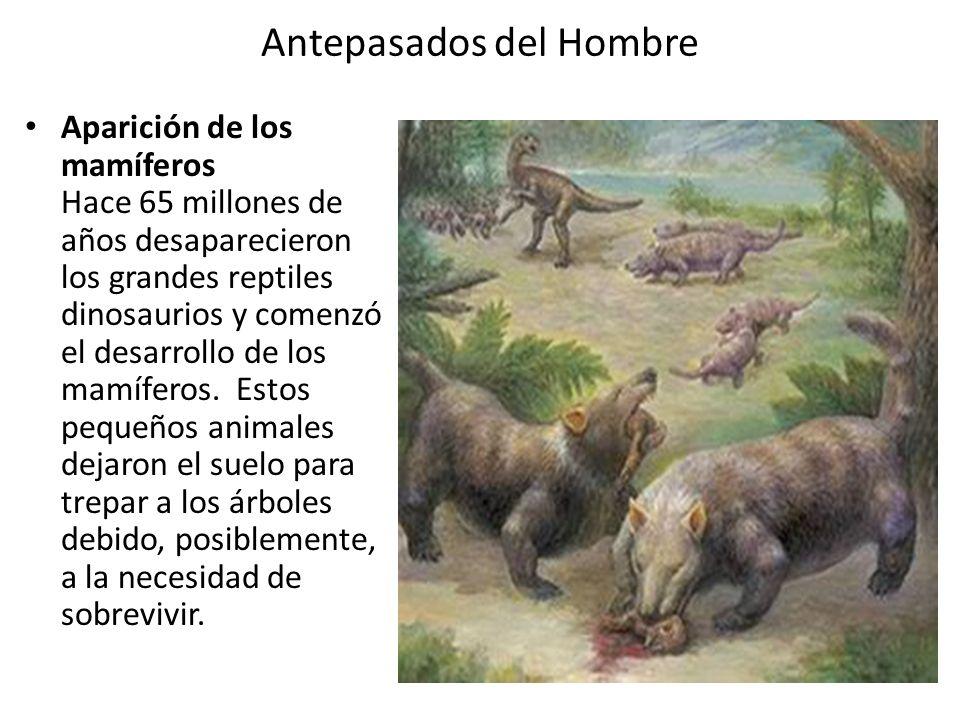 Antepasados del Hombre Aparición de los mamíferos Hace 65 millones de años desaparecieron los grandes reptiles dinosaurios y comenzó el desarrollo de