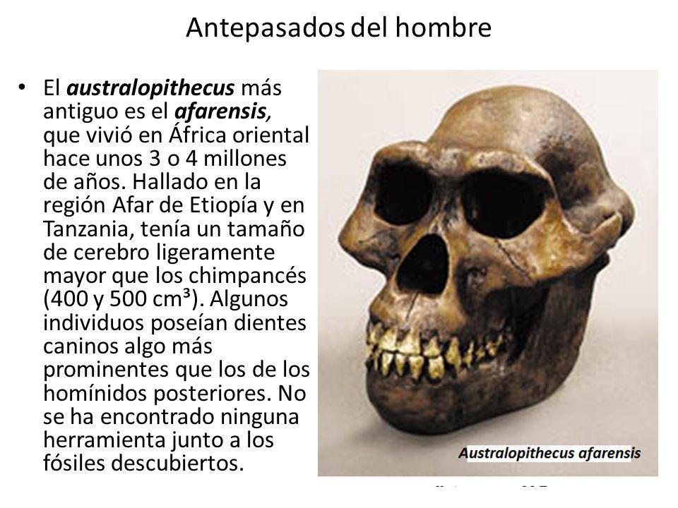 Antepasados del hombre El australopithecus más antiguo es el afarensis, que vivió en África oriental hace unos 3 o 4 millones de años. Hallado en la r