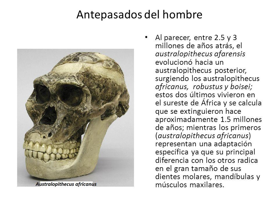 Antepasados del hombre Al parecer, entre 2.5 y 3 millones de años atrás, el australopithecus afarensis evolucionó hacia un australopithecus posterior,
