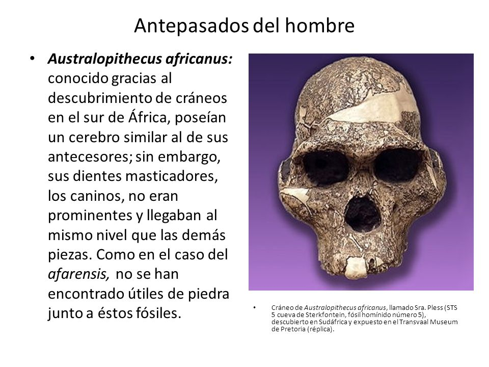 Antepasados del hombre Australopithecus africanus: conocido gracias al descubrimiento de cráneos en el sur de África, poseían un cerebro similar al de