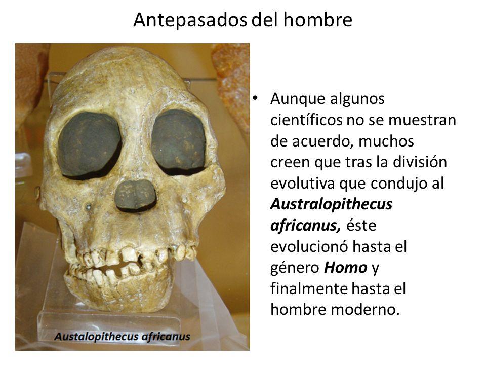 Antepasados del hombre Aunque algunos científicos no se muestran de acuerdo, muchos creen que tras la división evolutiva que condujo al Australopithec