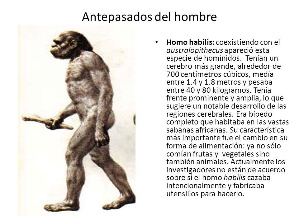 Antepasados del hombre Homo habilis: coexistiendo con el australopithecus apareció esta especie de homínidos. Tenían un cerebro más grande, alrededor