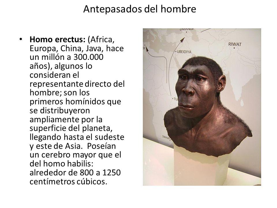 Antepasados del hombre Homo erectus: (Africa, Europa, China, Java, hace un millón a 300.000 años), algunos lo consideran el representante directo del