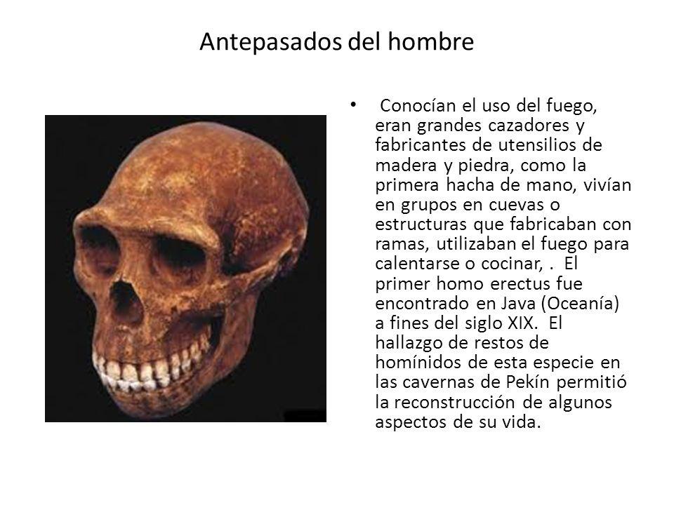 Antepasados del hombre Conocían el uso del fuego, eran grandes cazadores y fabricantes de utensilios de madera y piedra, como la primera hacha de mano