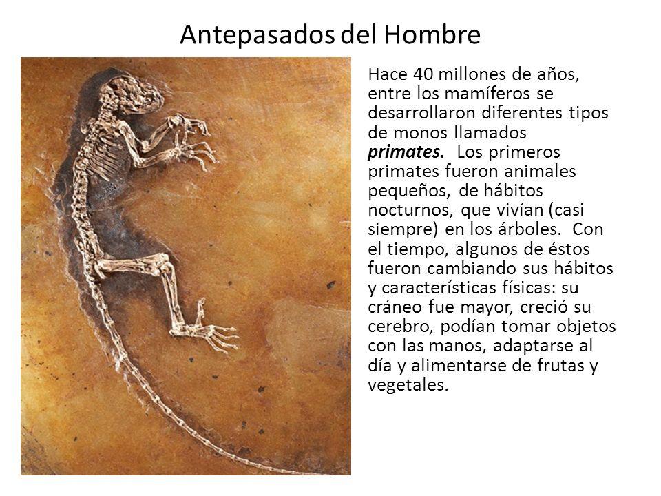 Antepasados del Hombre Hace 40 millones de años, entre los mamíferos se desarrollaron diferentes tipos de monos llamados primates. Los primeros primat
