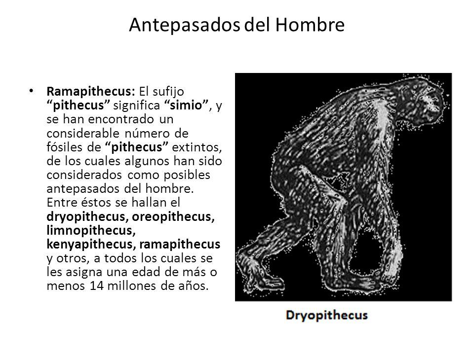 Antepasados del Hombre Ramapithecus: El sufijo pithecus significa simio, y se han encontrado un considerable número de fósiles de pithecus extintos, d