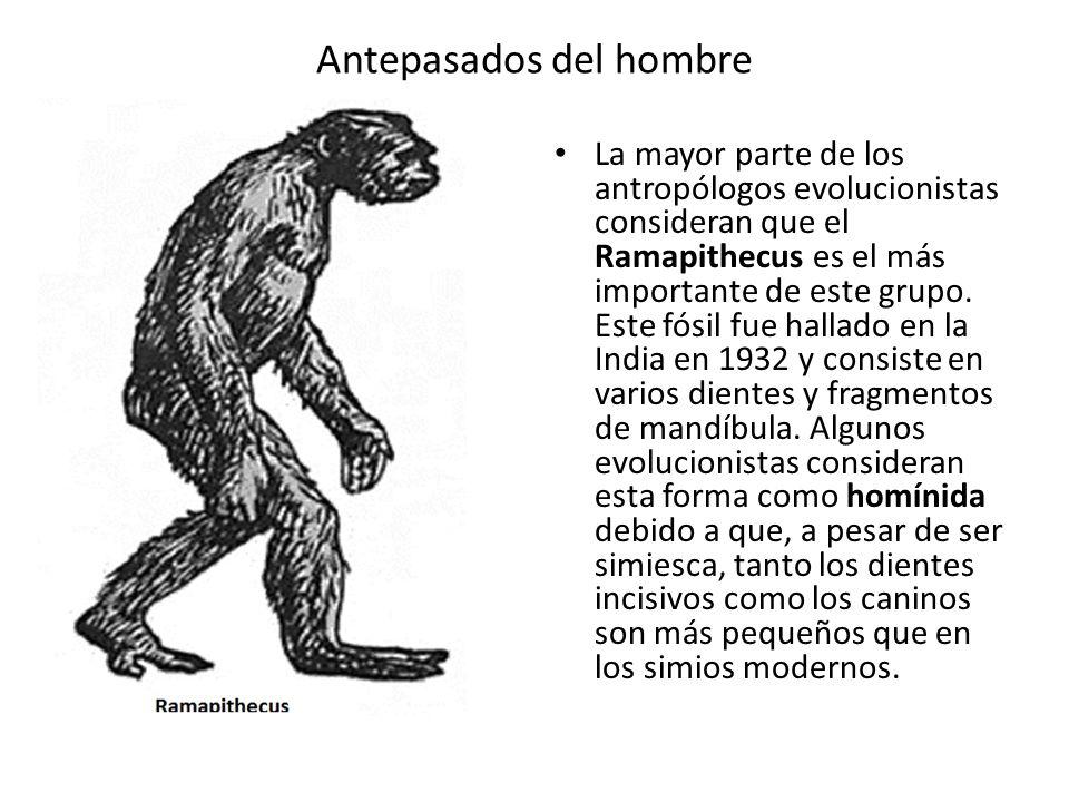 Antepasados del hombre La mayor parte de los antropólogos evolucionistas consideran que el Ramapithecus es el más importante de este grupo. Este fósil