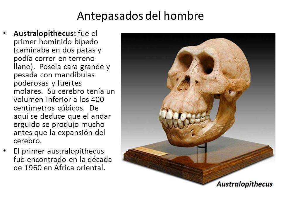 Antepasados del hombre Australopithecus: fue el primer homínido bípedo (caminaba en dos patas y podía correr en terreno llano). Poseía cara grande y p