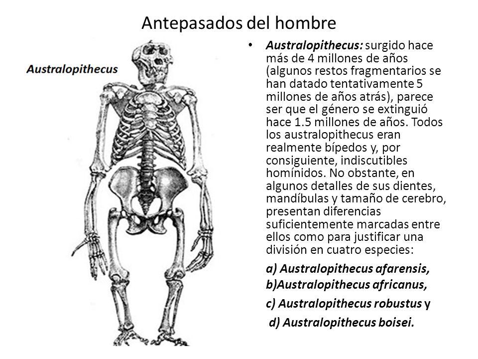 Antepasados del hombre Australopithecus: surgido hace más de 4 millones de años (algunos restos fragmentarios se han datado tentativamente 5 millones