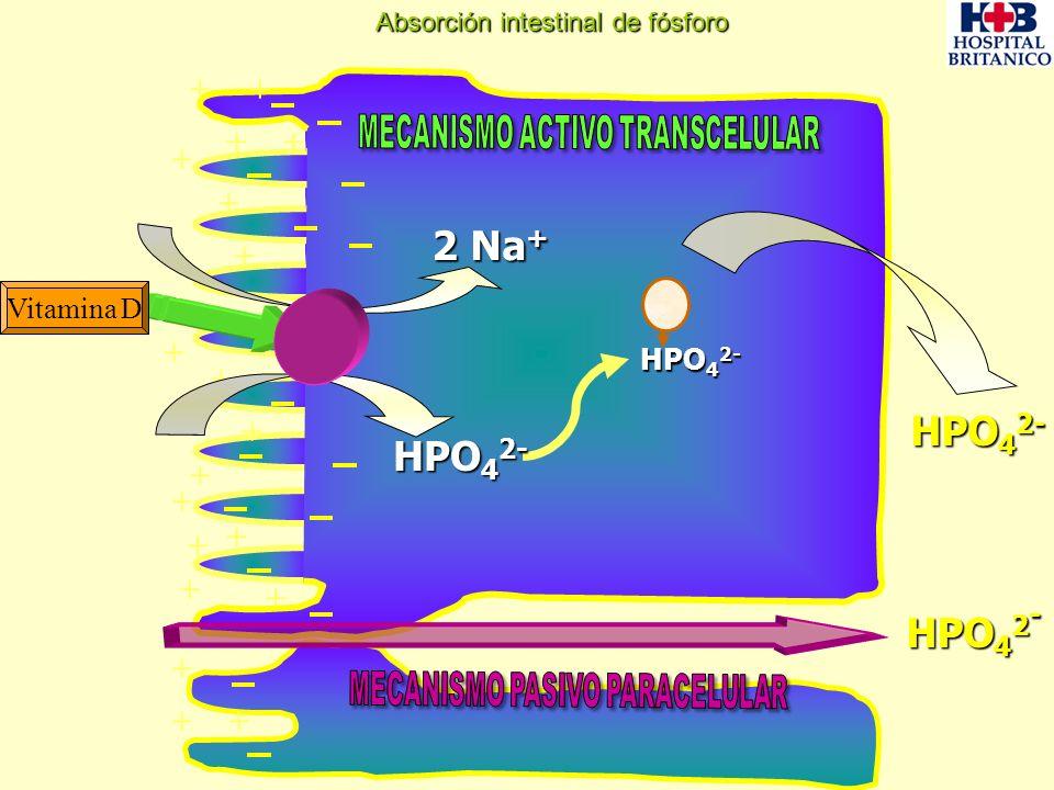 + ++ + + + + + + + + + + + + + + ++ + Vitamina D HPO 4 2 - 2 Na + HPO 4 2- Absorción intestinal de fósforo