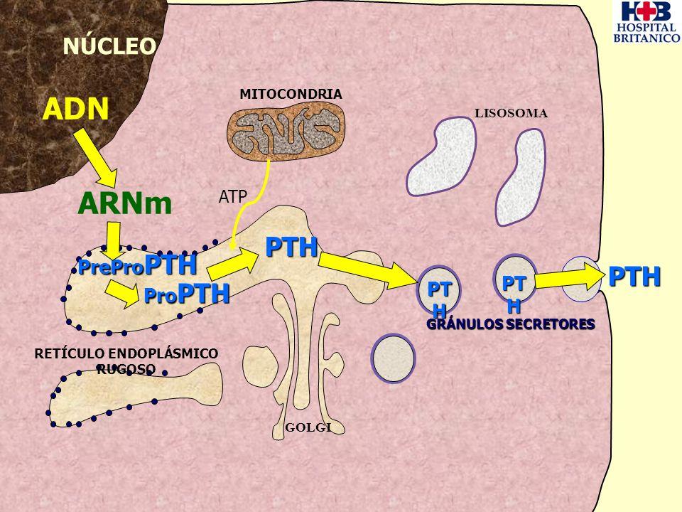 NÚCLEO MITOCONDRIA GOLGI LISOSOMA RETÍCULO ENDOPLÁSMICO RUGOSO ADN ARNm PrePro PTH ATP PTH Pro PTH PTH PT H GRÁNULOS SECRETORES