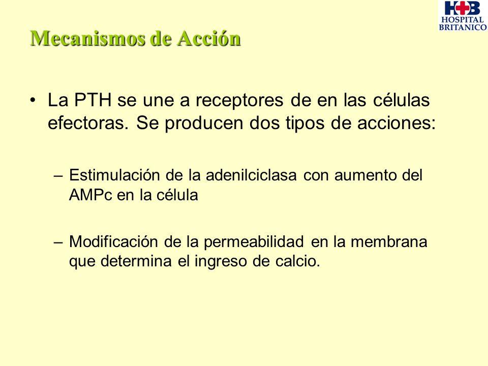 Mecanismos de Acción La PTH se une a receptores de en las células efectoras. Se producen dos tipos de acciones: –Estimulación de la adenilciclasa con