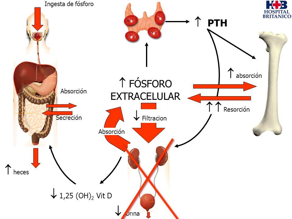 Ingesta de fósforo heces Absorción Secreción PTH 1,25 (OH) 2 Vit D absorción FÓSFORO EXTRACELULAR Absorción Orina Filtracion Resorción