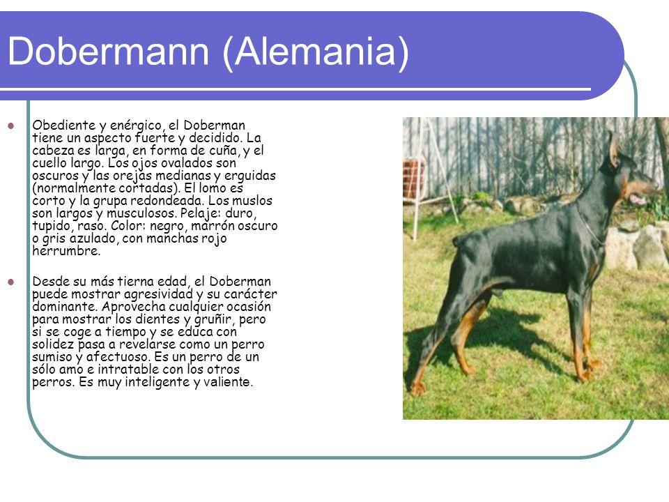Dobermann (Alemania) Obediente y enérgico, el Doberman tiene un aspecto fuerte y decidido.