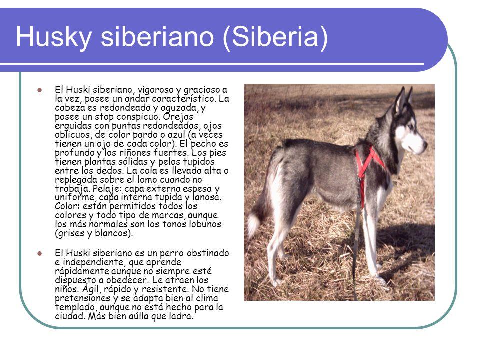 Husky siberiano (Siberia) El Huski siberiano, vigoroso y gracioso a la vez, posee un andar característico.