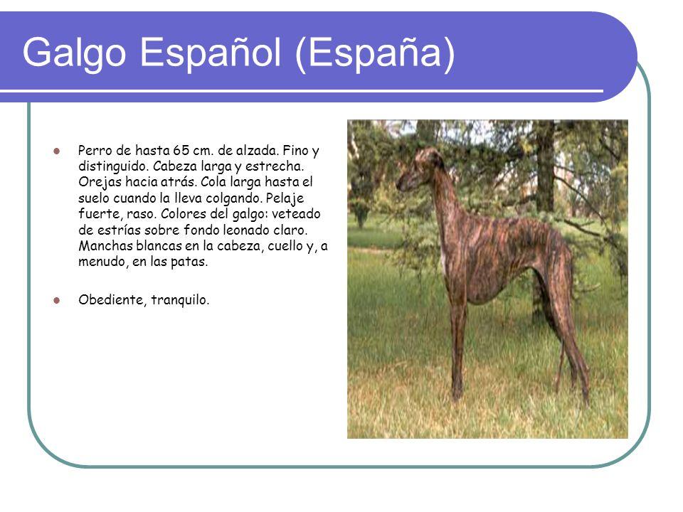 Galgo Español (España) Perro de hasta 65 cm.de alzada.