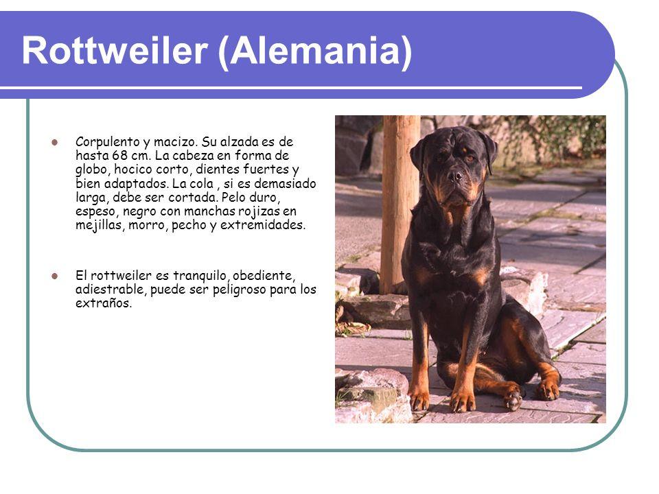 Rottweiler (Alemania) Corpulento y macizo.Su alzada es de hasta 68 cm.