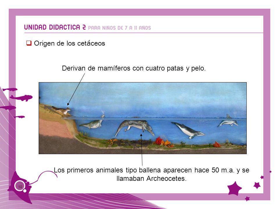 10 Origen de los cet á ceos Derivan de mamíferos con cuatro patas y pelo. Los primeros animales tipo ballena aparecen hace 50 m.a. y se llamaban Arche