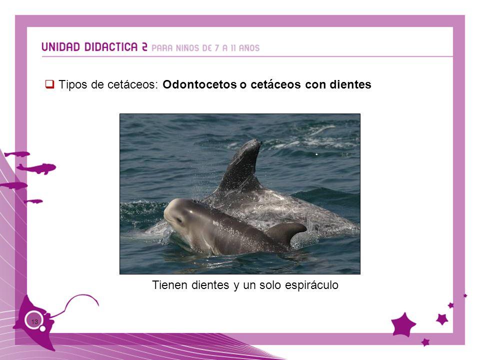 13 Tipos de cetáceos: Odontocetos o cetáceos con dientes Tienen dientes y un solo espiráculo