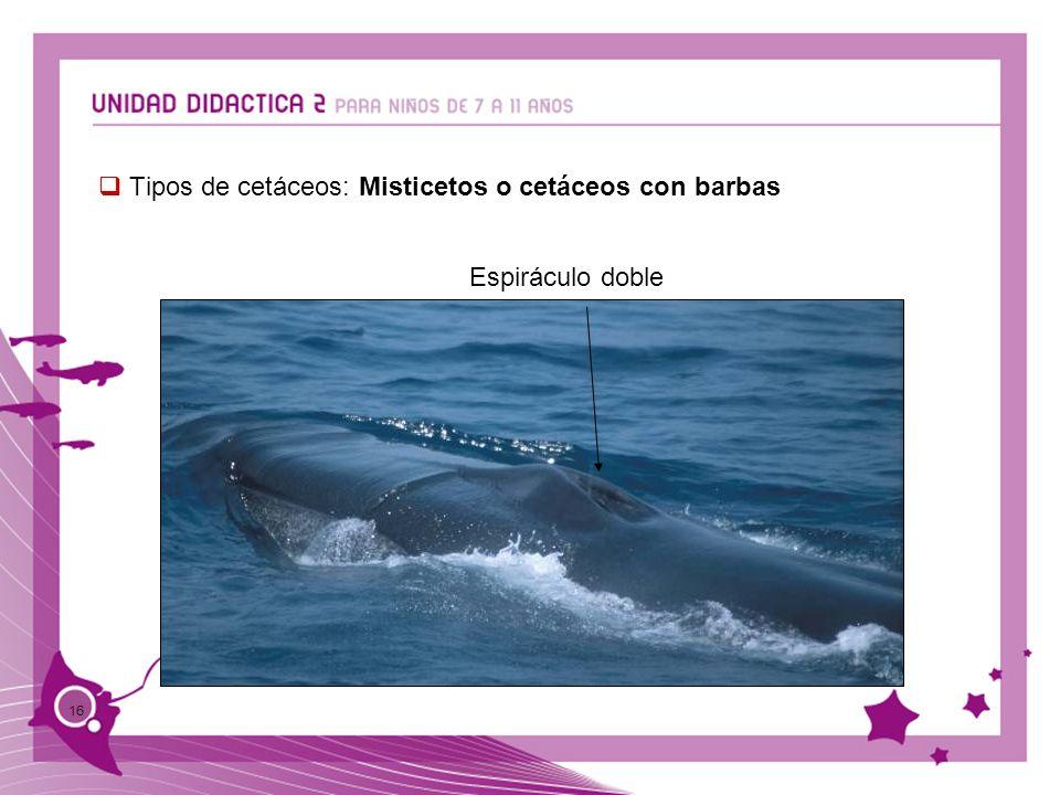 16 Tipos de cetáceos: Misticetos o cetáceos con barbas Espiráculo doble