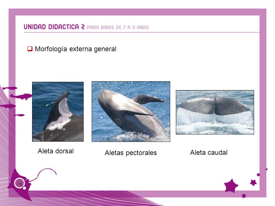 19 Aletas pectorales Aleta dorsal Aleta caudal Morfología externa general
