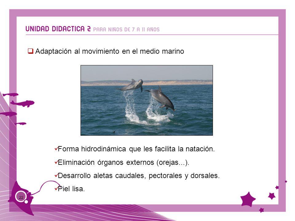 22 Adaptación al movimiento en el medio marino Forma hidrodinámica que les facilita la natación. Eliminación órganos externos (orejas...). Desarrollo