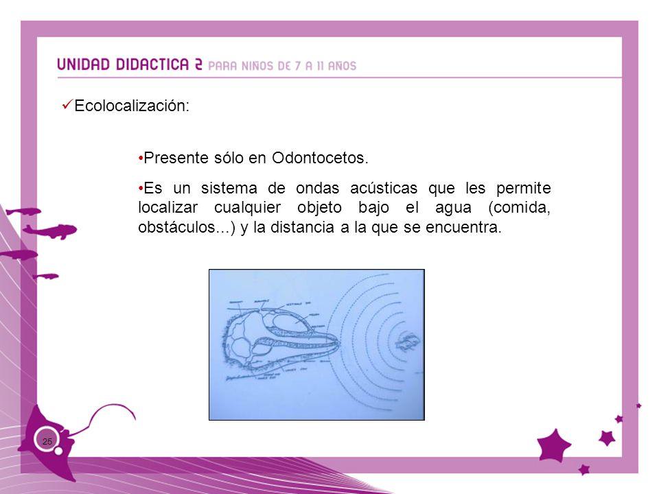 25 Ecolocalización: Presente sólo en Odontocetos. Es un sistema de ondas acústicas que les permite localizar cualquier objeto bajo el agua (comida, ob