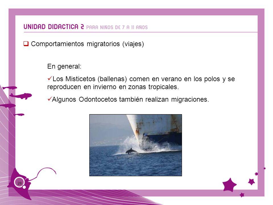 28 Comportamientos migratorios (viajes) En general: Los Misticetos (ballenas) comen en verano en los polos y se reproducen en invierno en zonas tropic