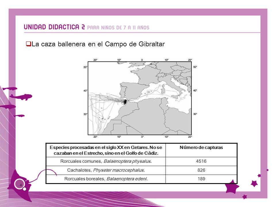 4 La caza ballenera en el Campo de Gibraltar Especies procesadas en el siglo XX en Getares. No se cazaban en el Estrecho, sino en el Golfo de C á diz.